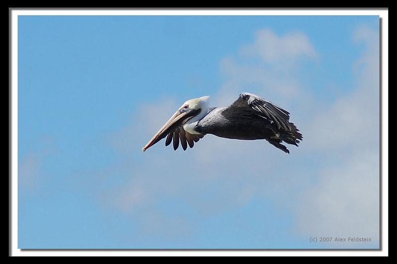 Brown Pelican (Pelecanus occidentalis) - Miami Beach