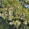 Pelicans nesting on tree