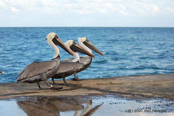 Brown Pelicans (Pelecanus occidentalis) - Bal Harbour, Florida