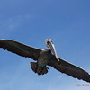 Brown Pelican (Pelecanus occidentalis) - Bal Harbour, Florida