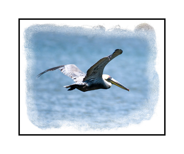 A brown pelican in flight over the Everglades in Florida.