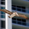 Urban pelican!<br /> Bal Harbour, FL