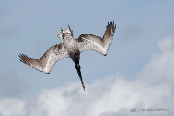 Brown Pelican - Bal Harbour, Florida