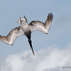 Brown Pelican - Bal Harbour, Florida