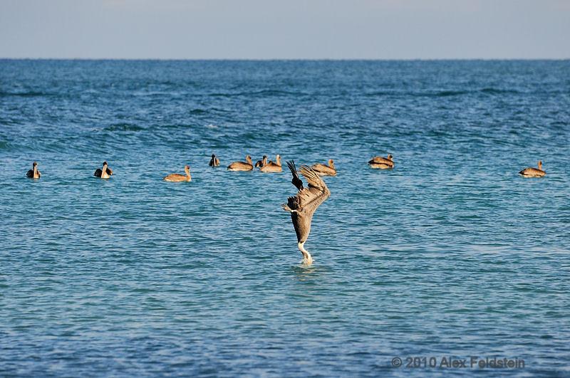 Brown pelicans<br /> Haulover Cut, FL