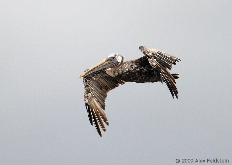 Adult brown pelican in flight