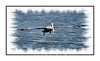 A pelican flying over the Everglades; view in the larger sizes to see the detail of the bird.