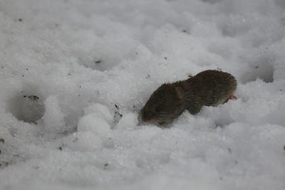 Peltomyyrä - Field vole - Microtus agrestis