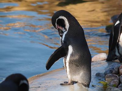 Penguins in Copenhagen Zoo. Photo: Martin Bager.