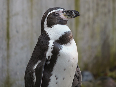 Penguins in Copenhagen Zoo. Photo: Martin Bager.