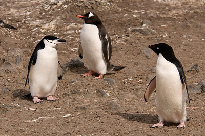 Penguin identiy crisis! Shouldn't we all look the same?