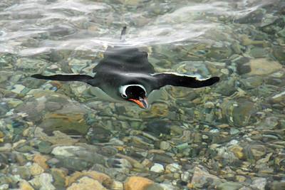 """Gentoo penguin """"flying"""" underwater."""