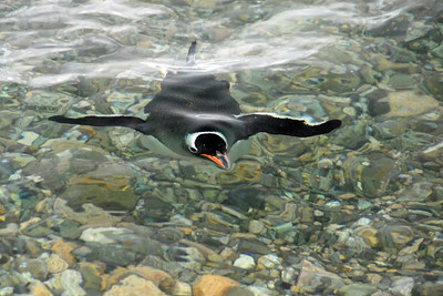 "Gentoo penguin ""flying"" underwater."