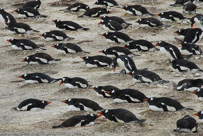Nesting Gentoos at Saunders Island, Faulkland Islands. In theory, they should all be facing the wind!