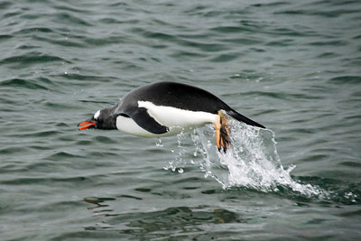 "Gentoo attempting to fly, actually ""porpoising""!"