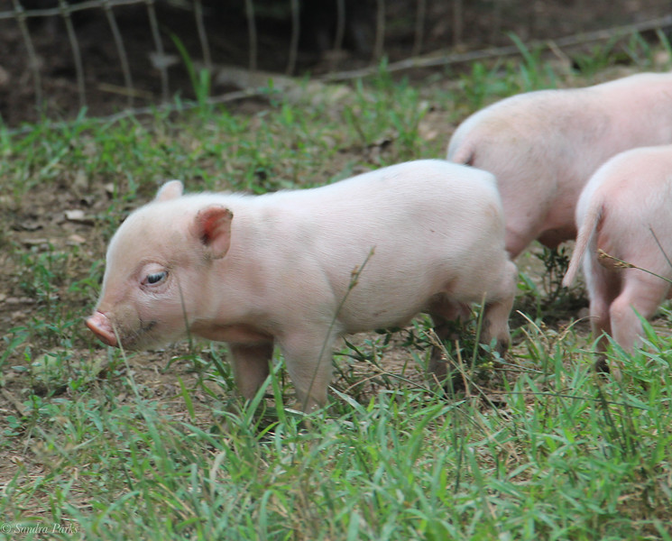 A few piglets (there are 7 total)