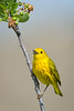 America Yellow Warbler-male.