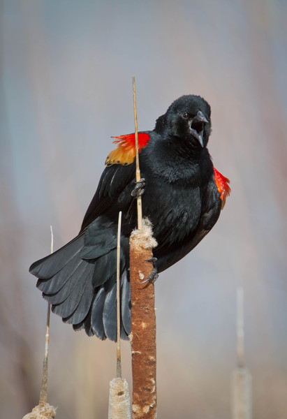 Red-winged Blacbird