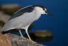 Black-crowned Night -Heron