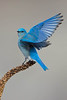 Mountain Bluebird-Male