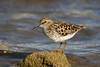 Least Sandpiper,Cherry Creek State Park,Colorado