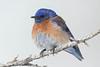 Western Bluebird,male.