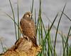 Juvenile Anatum Peregrine Falcon at the Sacramento National Wildlife Refuge.