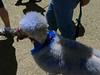 A BLUE POODLE??!!??