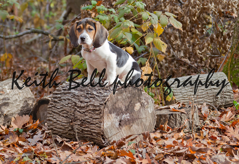Annie the Beagle Basset Puppy sitting on a log surround by leaves with sad eyes and floppy ears.