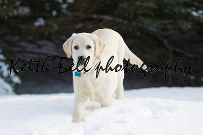 Rudy the Yellow Lab in the Snow