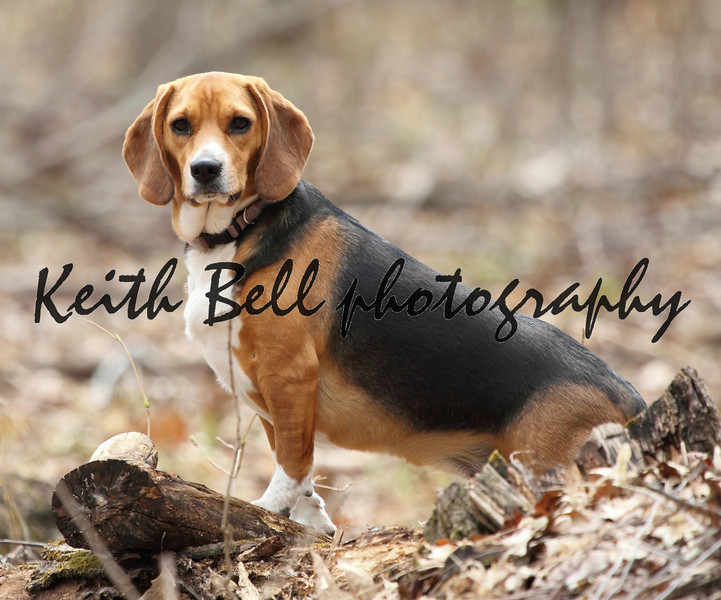 A hunting beagle posing in the middle of a woods on a log.