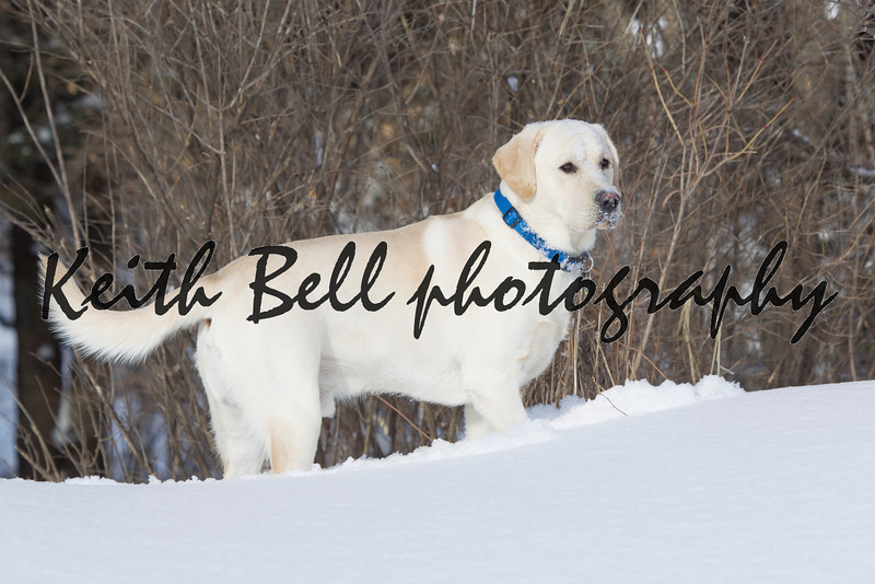 Rudy the Yellow lab standing in snow with face full of snow