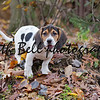 Annie the Beagle Basset Puppy standing on a slope surrounded by leaves with sad eyes and floppy ears.