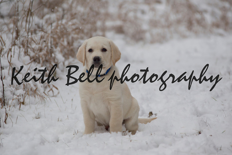 Nine week old Rudy, the yellow lab, in the fresh snow.