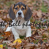Annie the Beagle Basset Puppy in a sitting in a pile of Leaves with sad eyes and floppy ears.