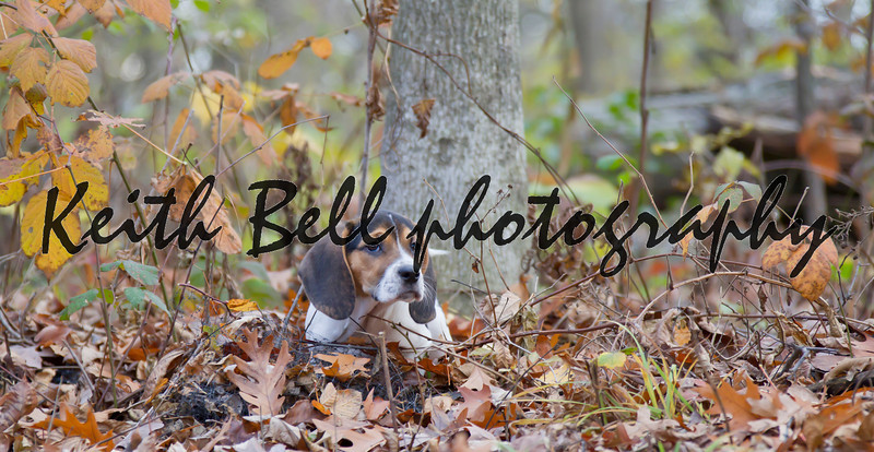 Annie the Beagle Basset Puppy laying in the leaves with sad eyes and floppy ears.