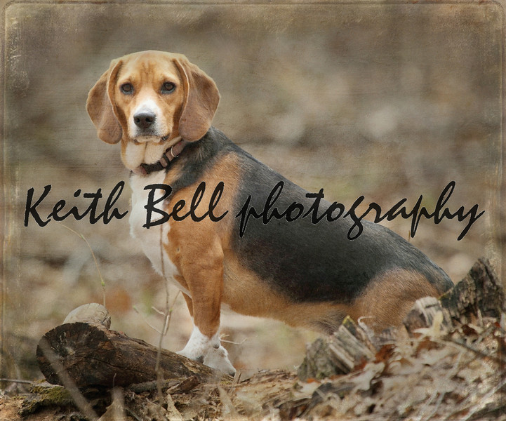 A hunting beagle posing in the middle of a woods on a log.  Textured to look antique.