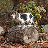 Annie the Beagle Basset Puppy standing on a log surround by leaves with sad eyes and floppy ears.