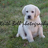 Rudy the Tiny Yellow Seven Week old Yellow Labrador Puppy sitting in the grass