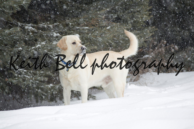 Rudy the Yellow lab in the middle of falling in snow