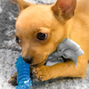 20160711-DSC01385-chihuahua-puppy-gold-pedicure-5x7-terry-boswell-bw2
