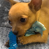 20160711-DSC01385-chihuahua-puppy-gold-pedicure-5x7-terry-boswell-bw1