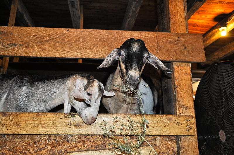 Shane and Toby! Two fantastic goats from Beekman Farm.