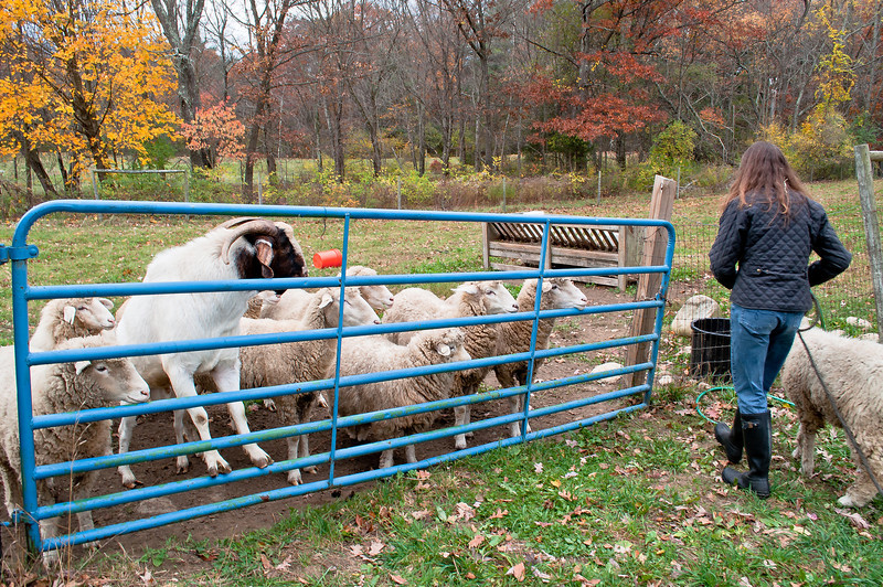 A sheep is returned by a local teacher who 'borrowed' her for a little field trip with her class. Her return causes quite a crowd at the gate.