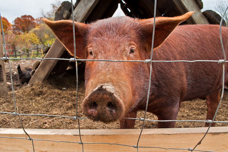 Can't take it.  Another fabulous pig at Codman Farm.