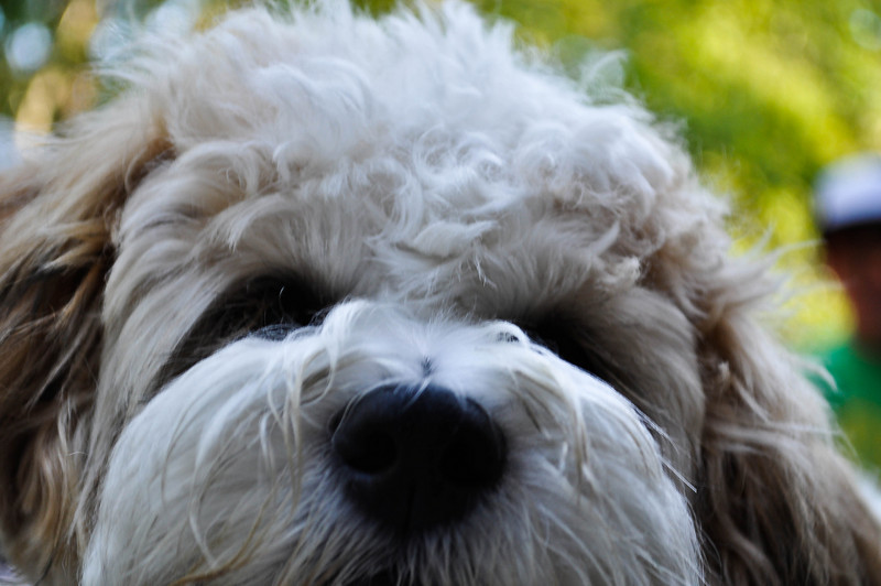 Teddy Bear Pup.  Shih-Tsu Bichon Frise.  Unbelieveable animal!