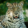Jaguar - Taken at the Jackson Mississippi Zoo.
