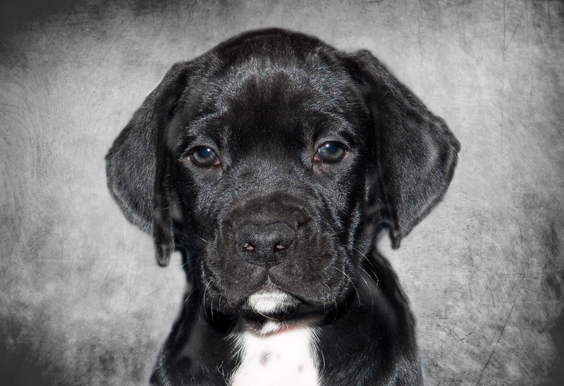Sadie - This is our Box-a Point when she was a puppy. 1/2 Boxer and 1/2 German Short Haired Pointer - A texture was applied to the background of this portrait to give it this effect.