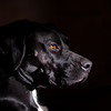 Sadie - box-a-point = 1/2 Boxer 1/2 German Short Haired Pointer