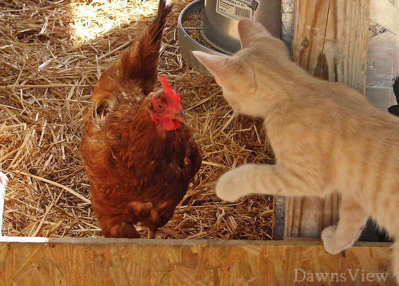 Sunny outside with chickens